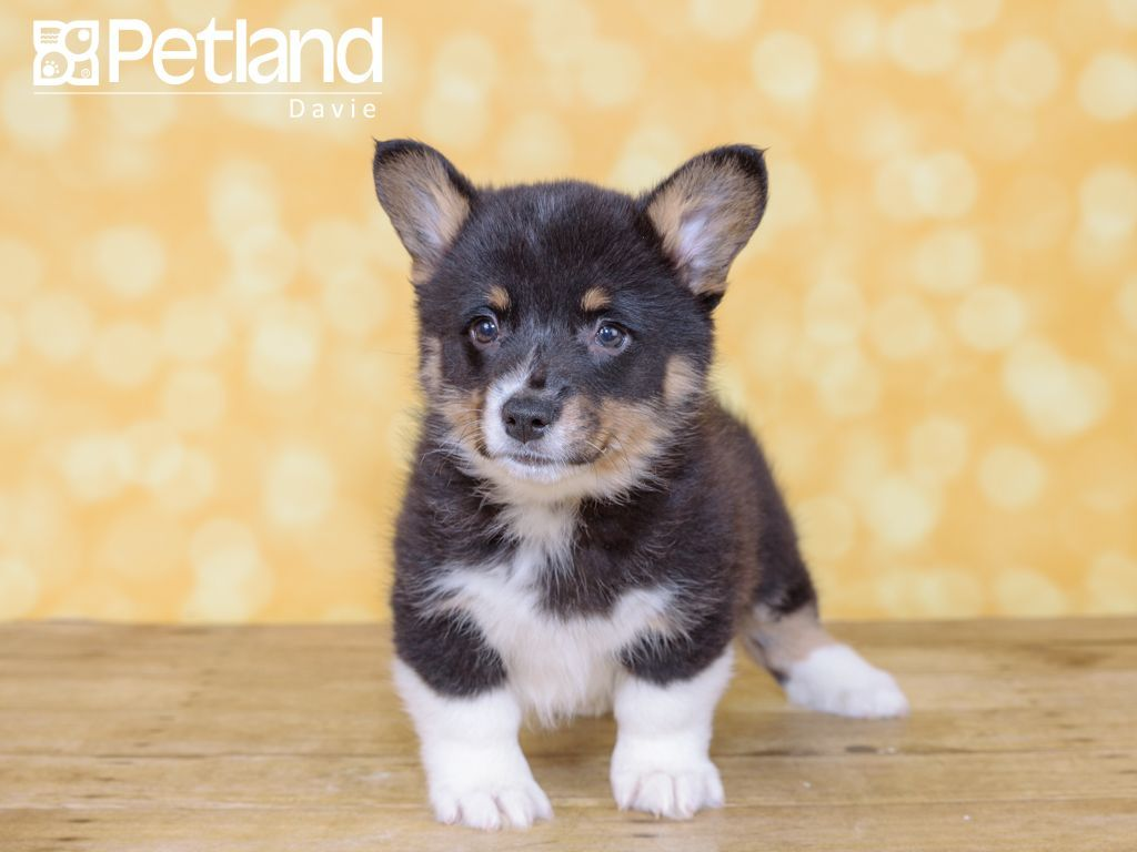 Puppies For Sale With Images Puppy Friends Corgi Puppies For Sale Pembroke Welsh Corgi Puppies