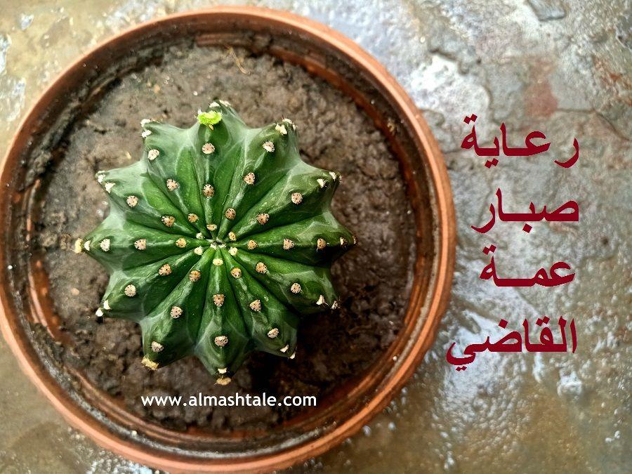 صبار عمة القاضي ذات الأشواك البيضاء أو الإيكينوبسس Echinopsis واحد من أشهر نباتات الصبار في مصر والعالم العربي نبات معطاء يجود با Green Beans Vegetables Green