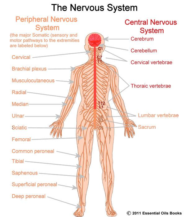 the central nervous system {science} | the nerve, young living, Human Body