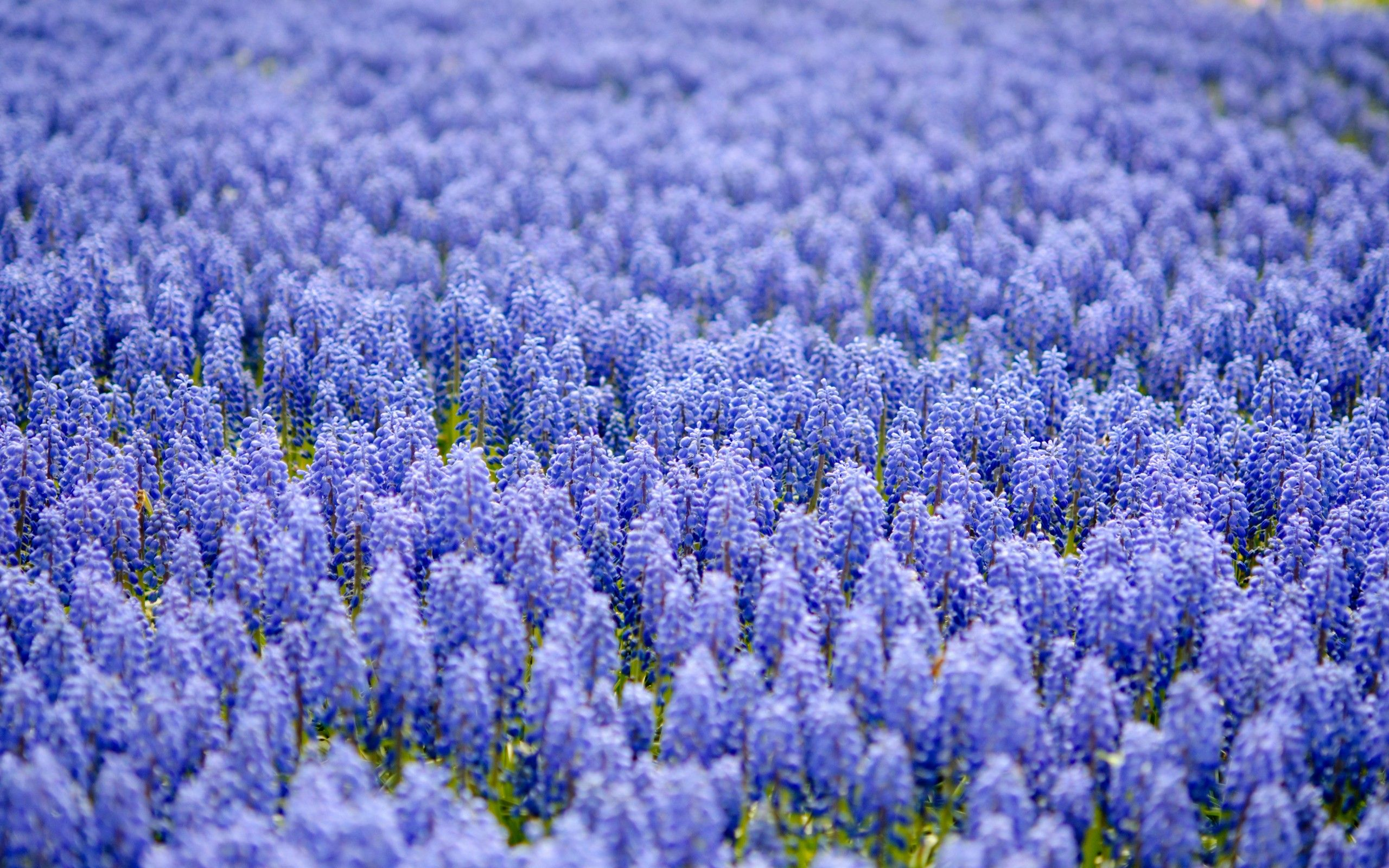 Blue Flowers Wallpapers High Quality Download Free Plants