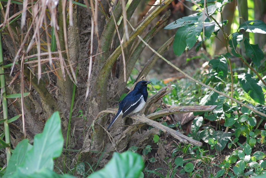 The Magpie Robin (Copsychus saularis) is the national Bird of Bangladesh, where it is common and known as the Doyel or Doel (Bengali: দোয়েল). They are common birds in urban gardens as well as forests.