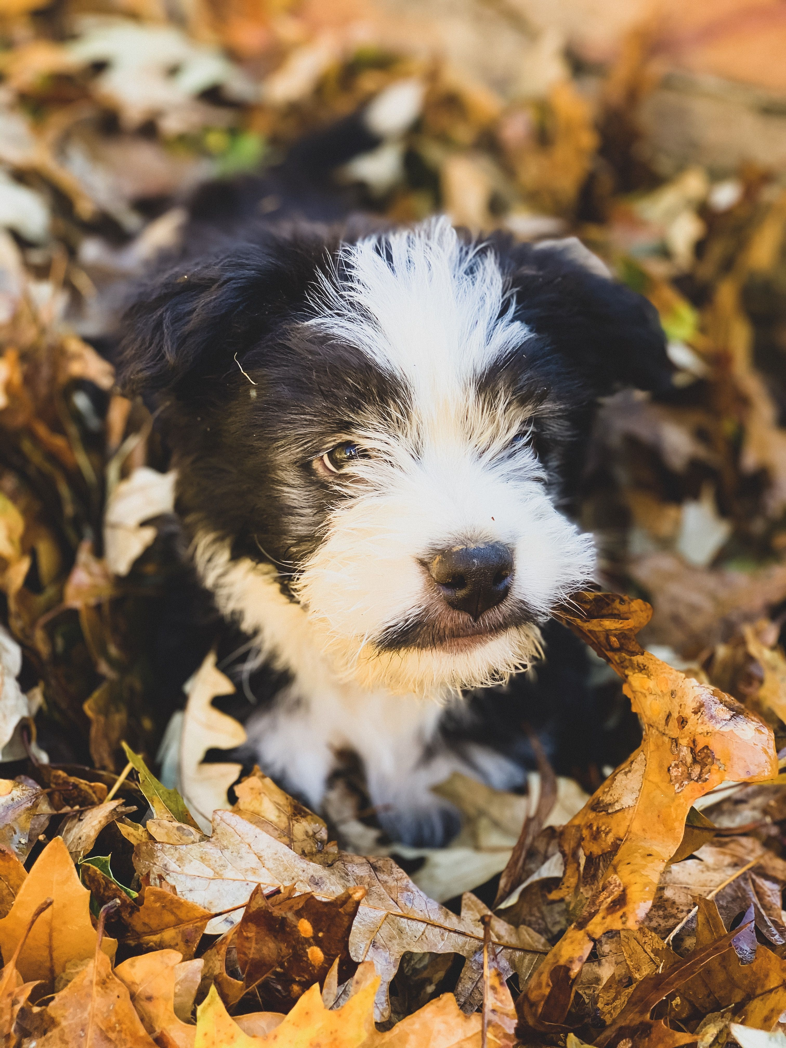 Border collie and doodle mix bordoodles puppies
