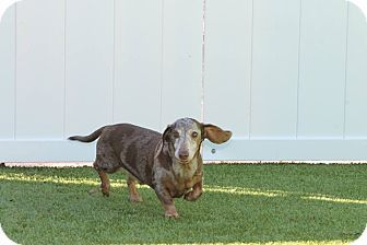 Pin By Jo Wiest On Bonded Pairs Dogs Dachshund Cape Coral Florida