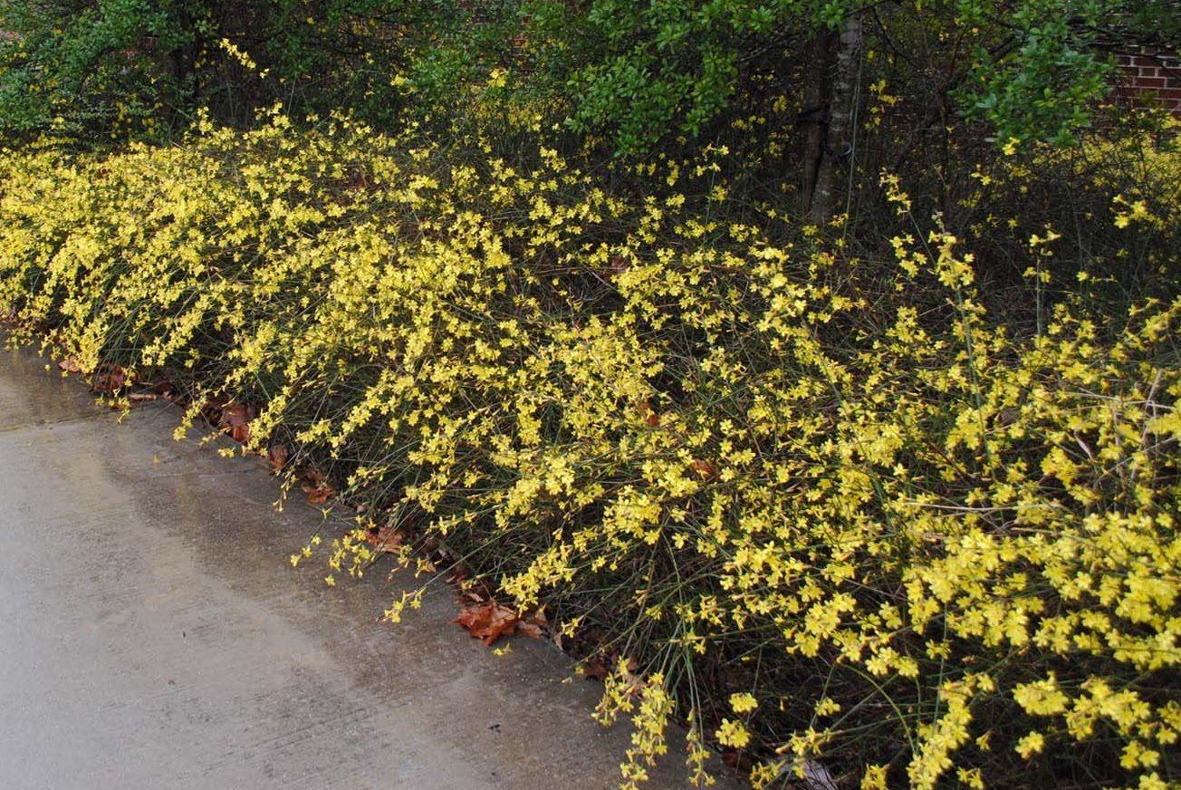 Jasminum nudiflorum winter jasmine google search landscaping for jasminum nudiflorum winter jasmine google search izmirmasajfo Image collections