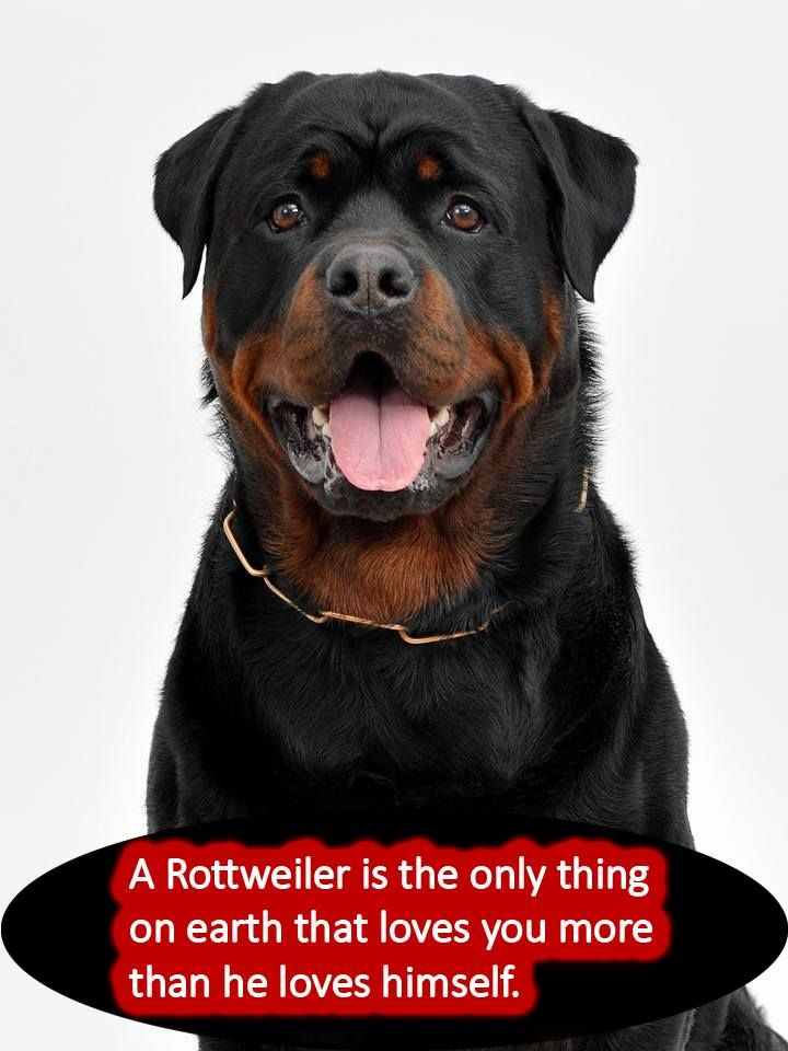 rotties dogs pinterest. Black Bedroom Furniture Sets. Home Design Ideas