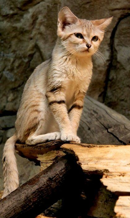 Sand cat (Felis margarita) lives in the deserts of Africa, the Arabian Peninsula, and western Asia.