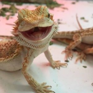 baby bearded dragon cage - Google Search | Mother Of ...