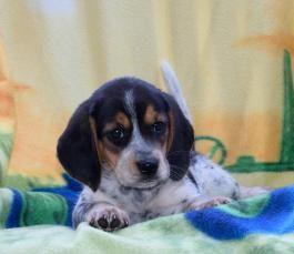 Beagle Mansbestfriend Puppylove Cutencuddly Buckeyepuppies Www