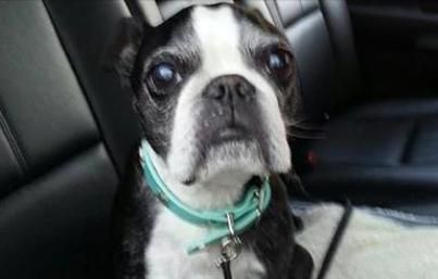 Wow! Sam, a partially blind, 13-year-old Boston Terrier, survived a 15-story fall from a balcony into a hot tub.