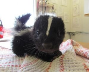 Are baby skunks cute for you  ...
