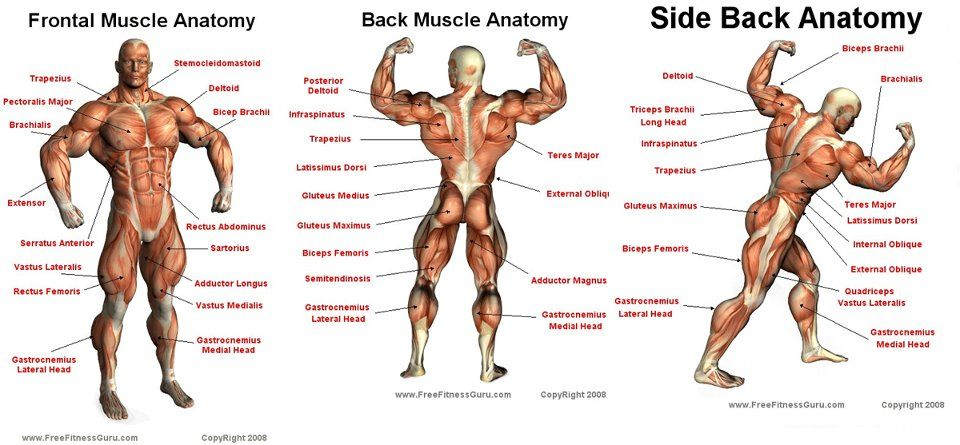 Bodybuilding Muscle Anatomy Gallery Human Body Anatomy