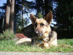 Adopt Hans On German Shepherd Dogs Dogs Shepherd Dog