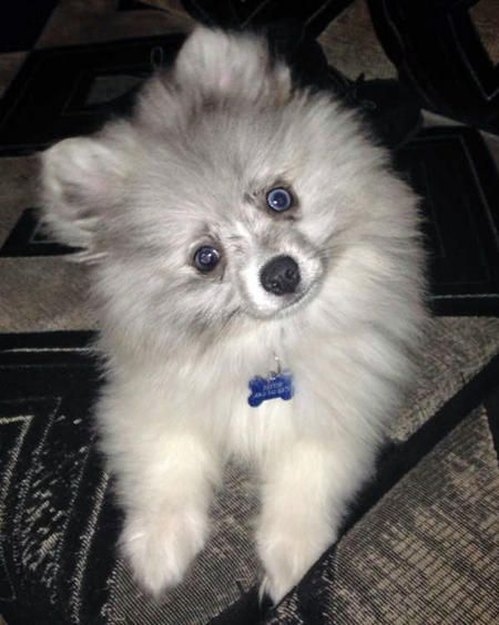 Paxton Pomeranian Has One Crystal Blue Eye And The Other Is Half