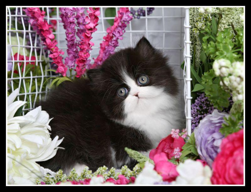 Oreo Classic Black & White Tuxedo Doll Face Persian