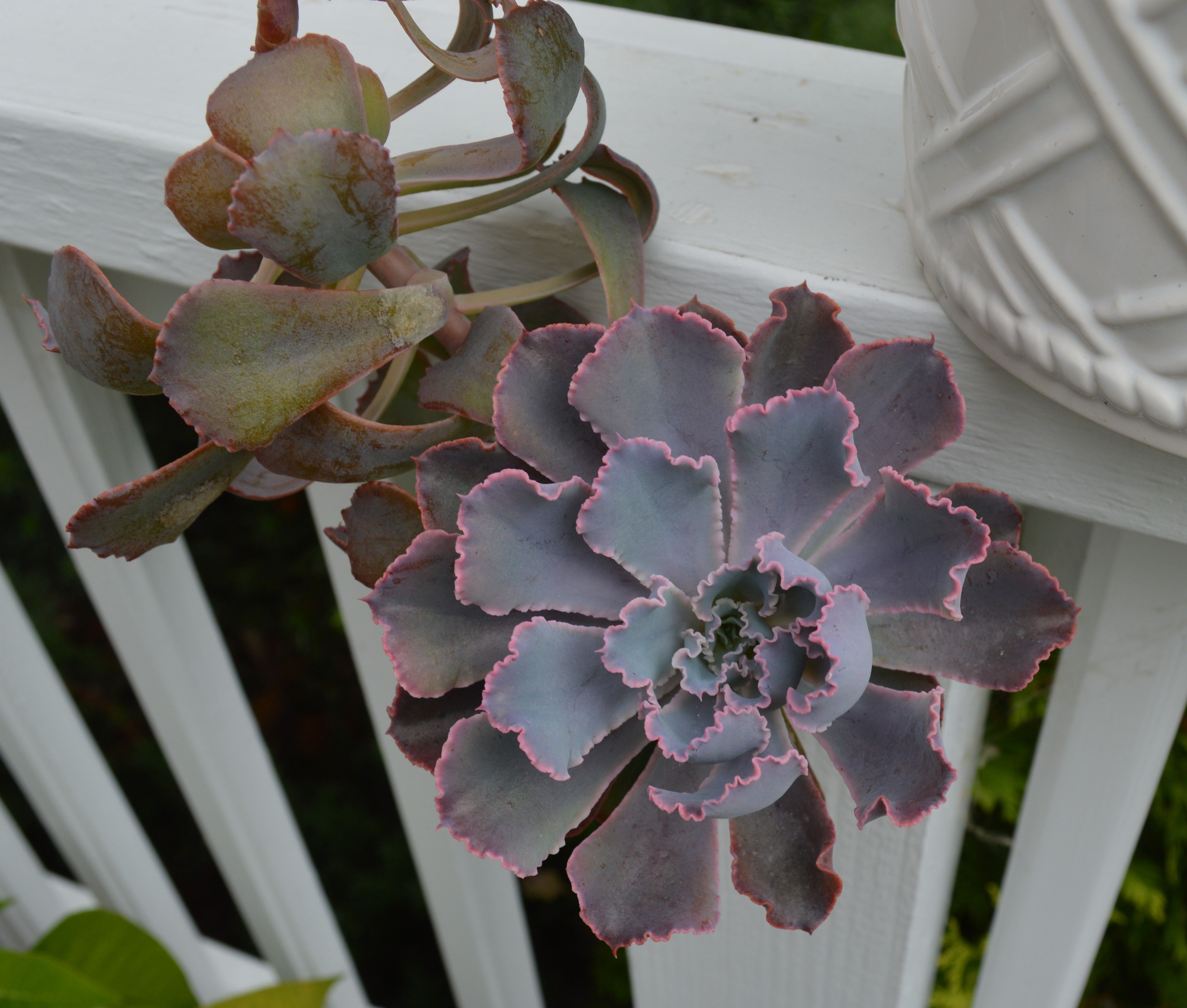 Echeveria 'Neon Breakers' - I have this. hardy to 36*