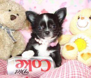 Wunderschöne MINI MINI Chihuahua Welpen Chihuahua love