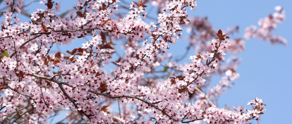 Pink Flower Tree Japanese Cherry Tree Flowering Cherry Tree Flowering Trees