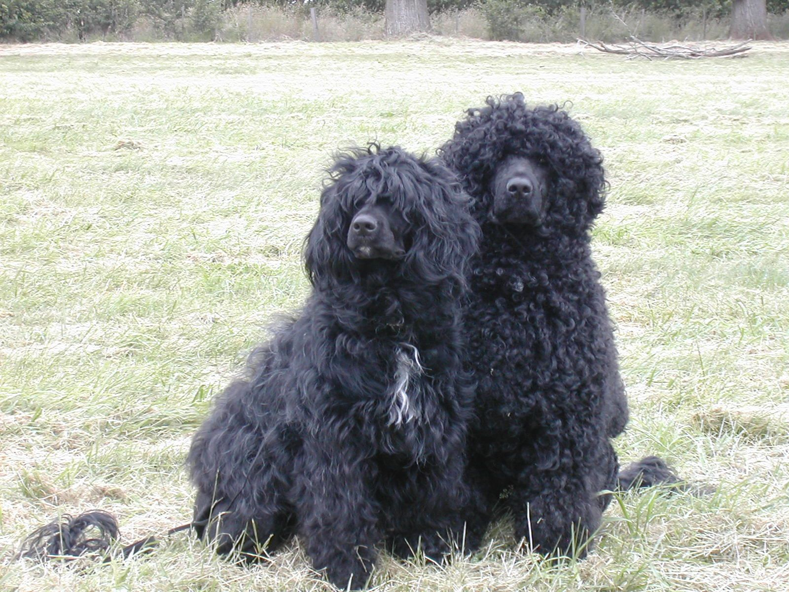 Bluegrace portuguese water dogs puppy pack water dog