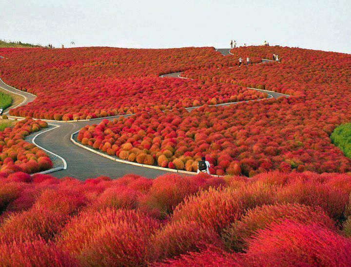 Hitachi Seaside Park, Japan :-)