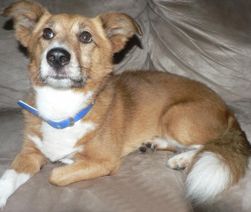 Adopt ROSCOE on Animal society, dog, Roscoe
