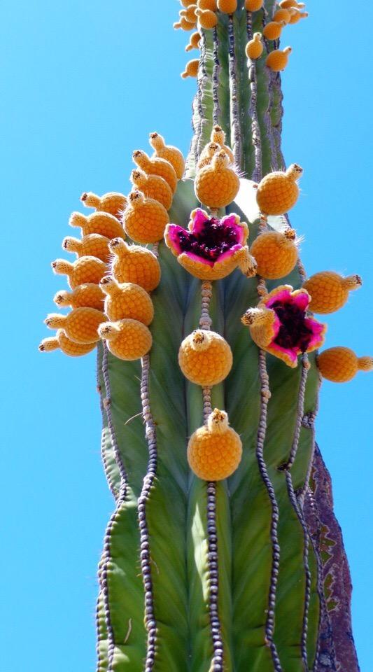 Раритет - редкие суккуленты #succulentterrarium