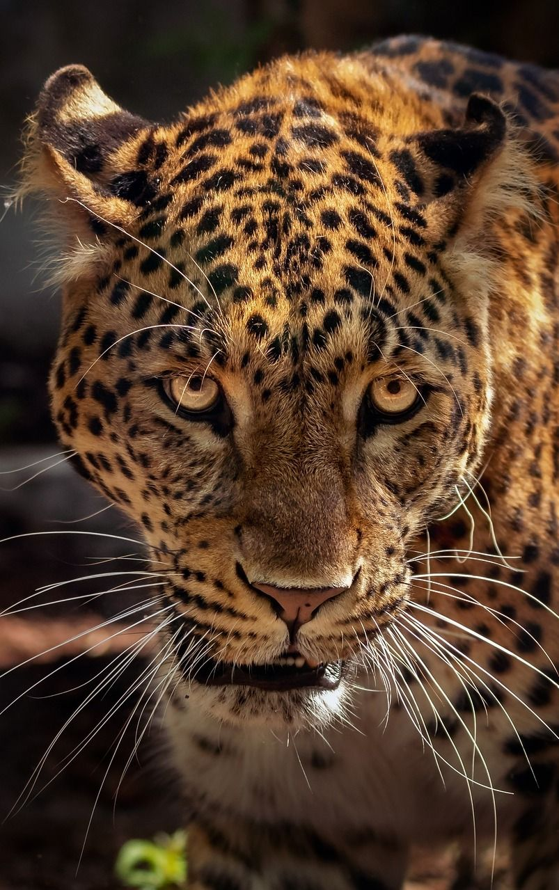 Face of a jaguar up close   Pictures-Mammals   Small wild ...