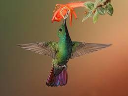 Картинки по запросу все виды колибри | Колибри, Фотоохота ...