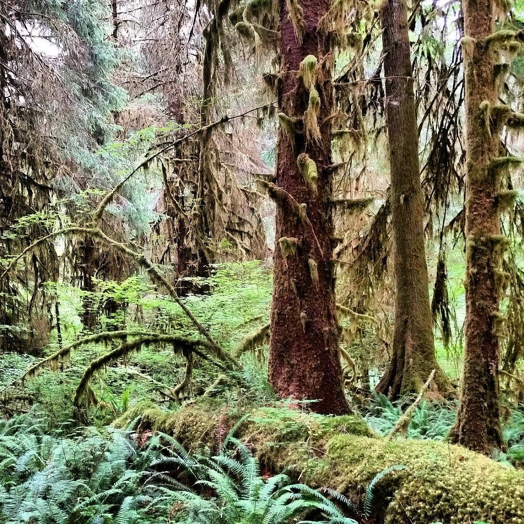 Exploring the Hoh Rainforest in Olympic National Park. July 2015. #olympicpeninsula #olympicnationalpark #washington #pacificnorthwest #pnw #pnwisbest #pnwonderland #neverstopexploring #wildernessculture #wilderness #liveauthentic #backcountry #backpacking #backpacker #theoutbound #rei #modernoutdoorsman #hiking #explorenature #welivetoexplore #exploreeverything #exploremore #keepitwild by wacetrilson