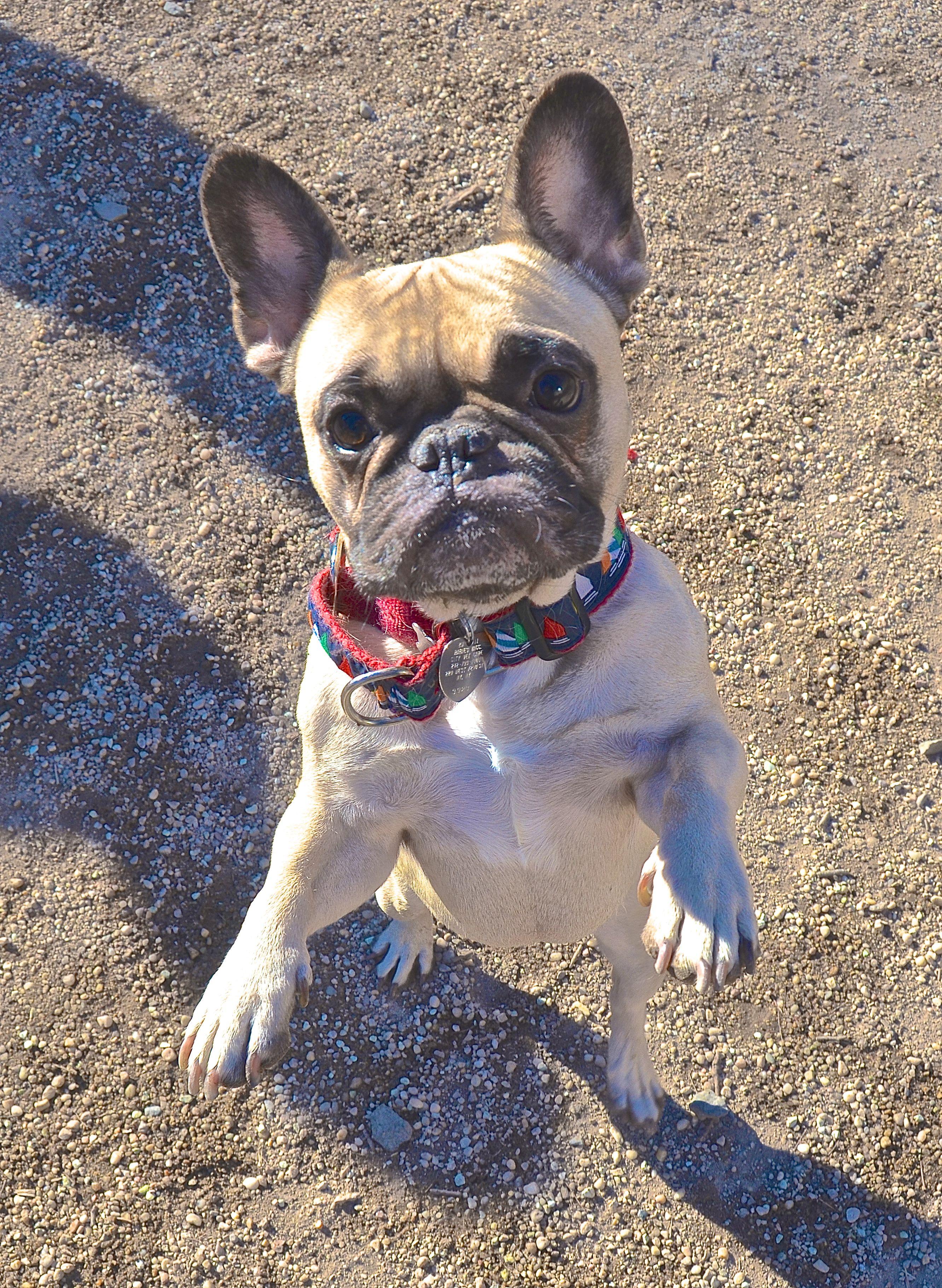 French #Bulldog Cuteness #dog