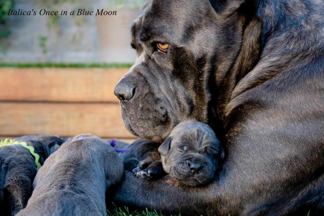 [5+] Cane Corso Dog Puppies For Sale Or Adoption At Yorba Linda
