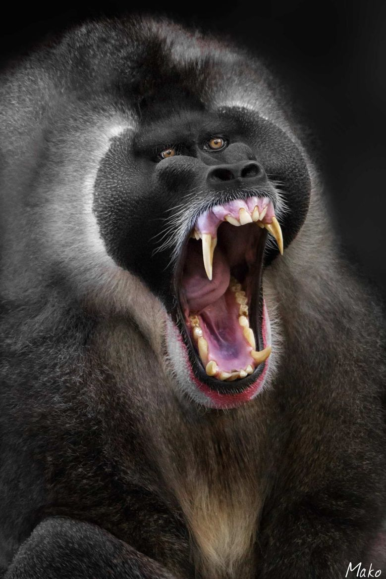 Babboon | Latest Babboon pictures on Social Media | Angry animals, Animals,  Animals beautiful