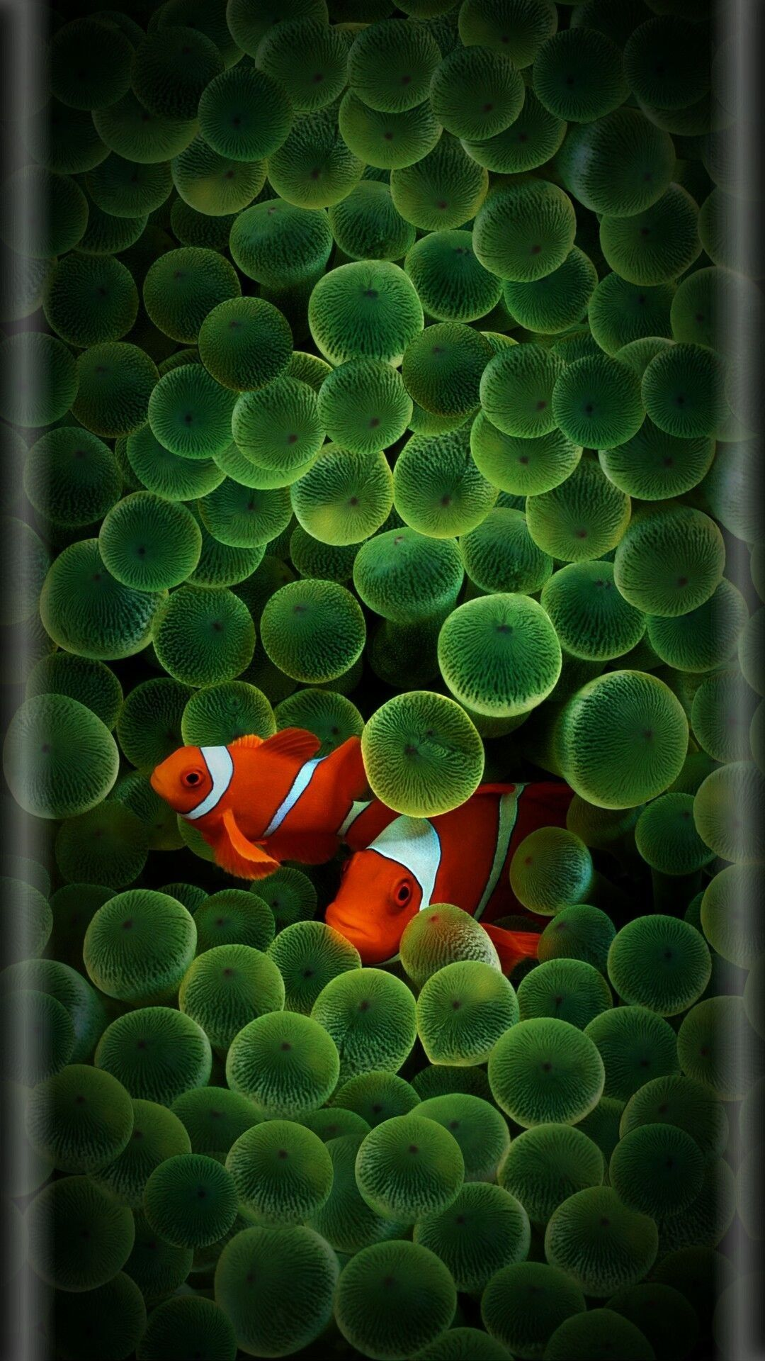 Iphone 5 Clown Fish Wallpaper Hadi Demir Adlı Kullanıcının Samsung S8 Wallpaper