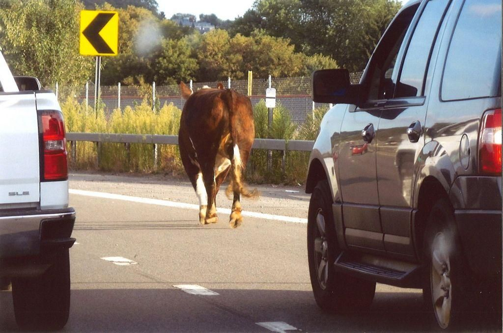 The way to catch a cow is through its stomach – at least that's what New Hartford police are hoping. On Monday, the department set a trap for the