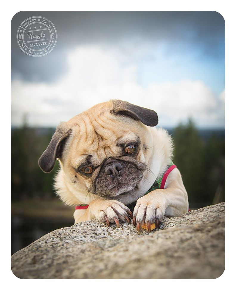 Huggle November 27th Canine Cancer Pugs Puppies