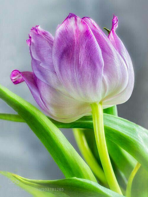 Pin di Mona Moni su Tulipanët (con immagini) | Tulipani ...
