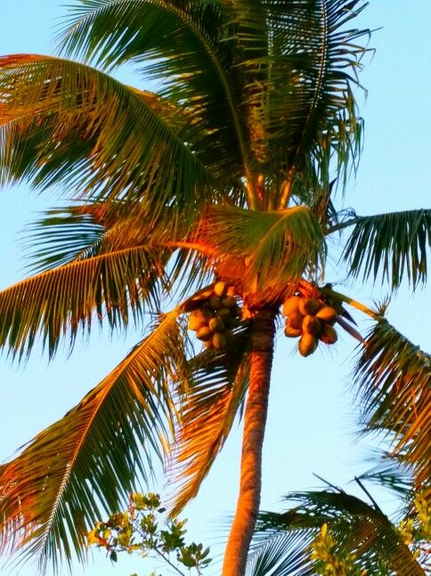 Sunset Lit Palm Tree Marathon Florida Keys