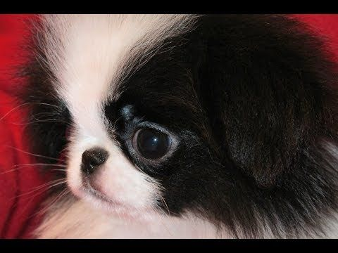 Japanese Chin Puppies Dogs For Sale In Jacksonville Florida