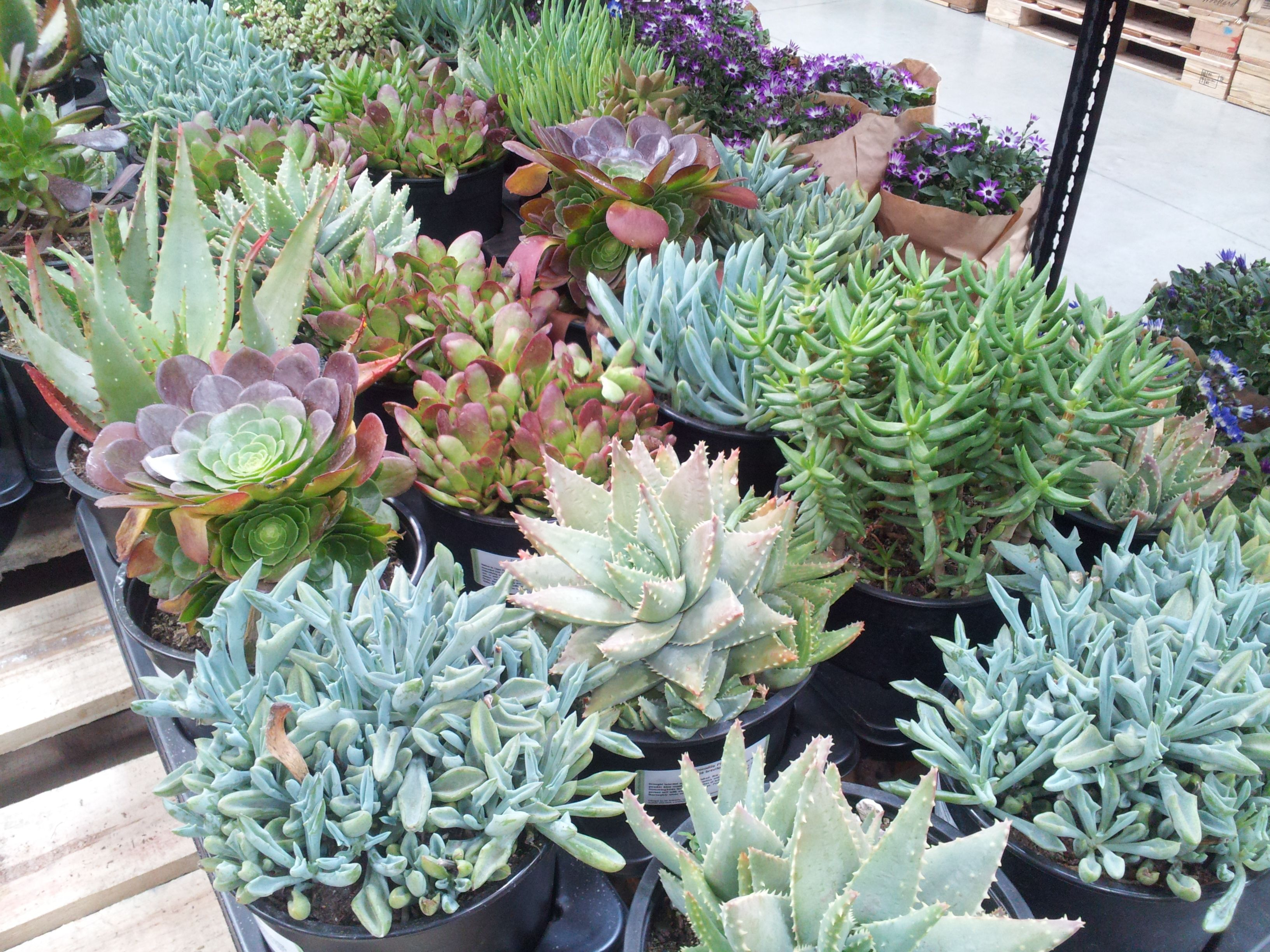 Succulents At Costco 12 59 For 3 Pack Succulents 400 x 300