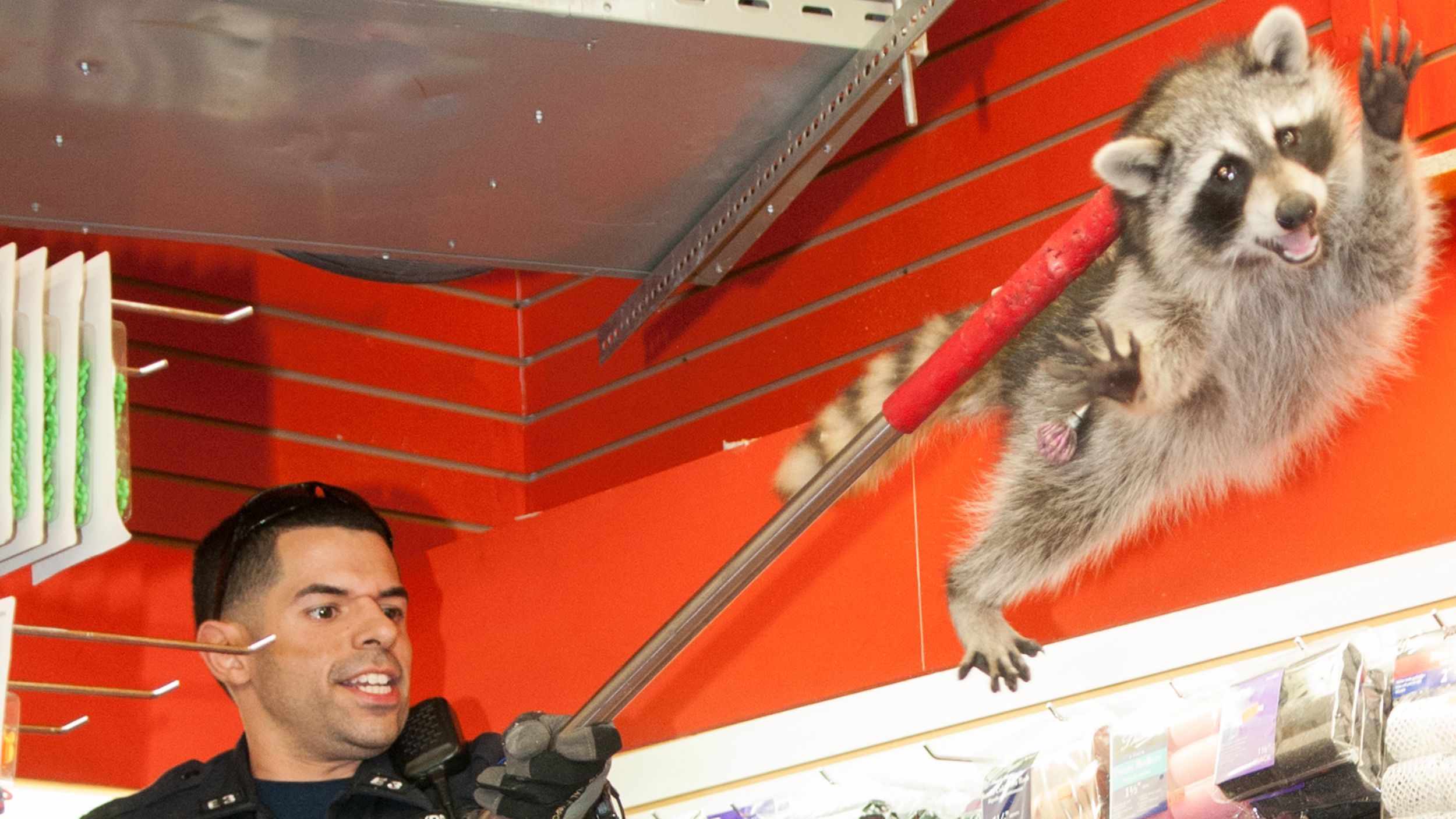 Best picture ever raccoon tries to outrun nypd with