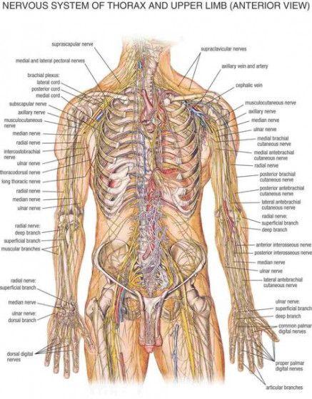 Medical Illustration Brain Nervous System 18 New Ideas #medical