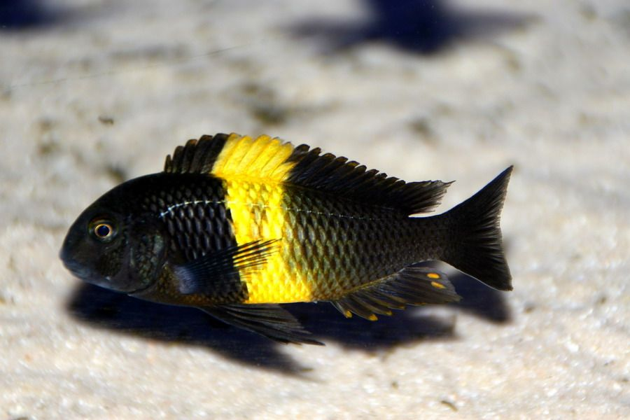 Tropheus Moorii Kiriza Cichlids Lake Tanganyika Tropical Fish Tanks