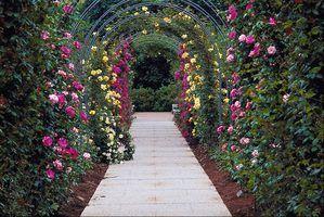 Las mejores plantas trepadoras para prgolas Gardens