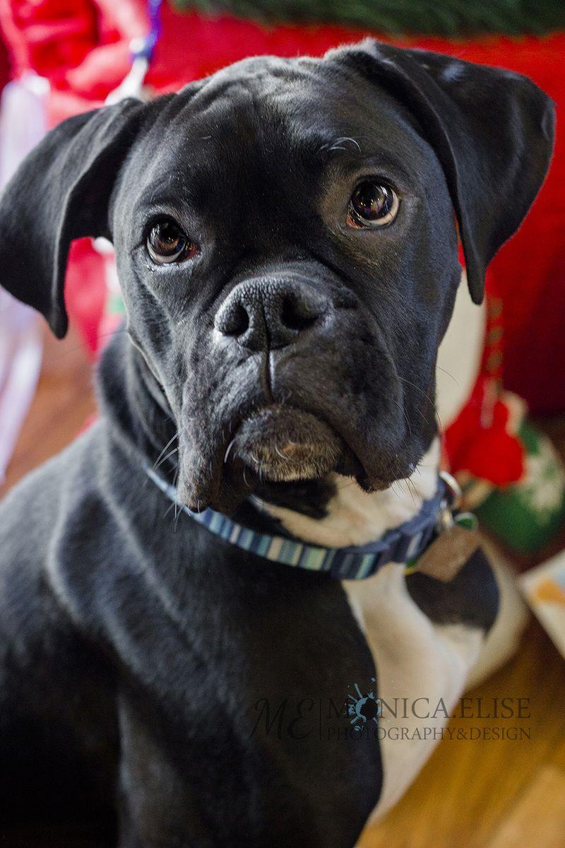 Adopt Duke on Lap dogs, Adoption, Boxer