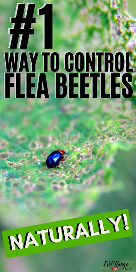 f6f1ad41c7f41304fcc5710ce8c91e1b - How To Get Rid Of Flea Beetles In House