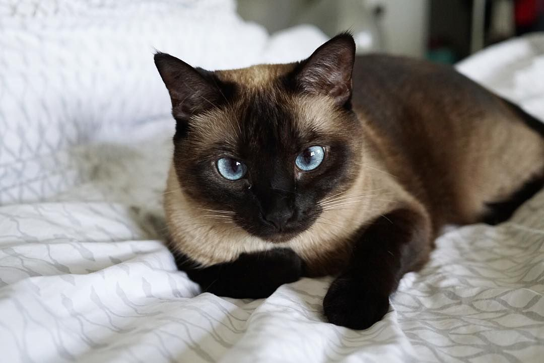 8 Low Hypoallergenic Cat Breeds You Must See Now The Cats Care
