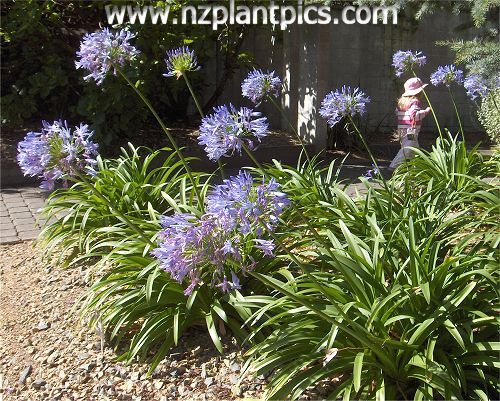 Agapanthus Photography Agapanthus Flower Photos Lily Of The Nile Photographs Agapanthus Flower Photos African Lily