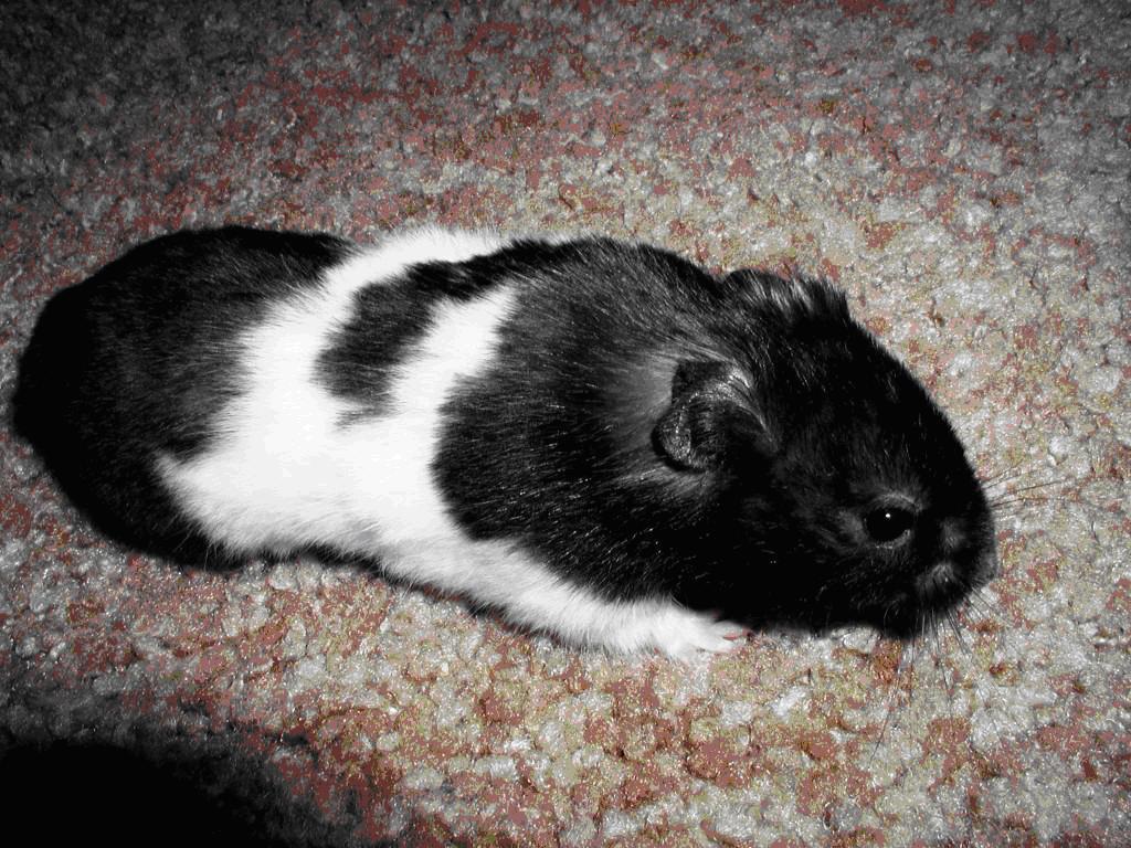 Kokoum Boy Bear Hamster Syrian Hamster Hamster