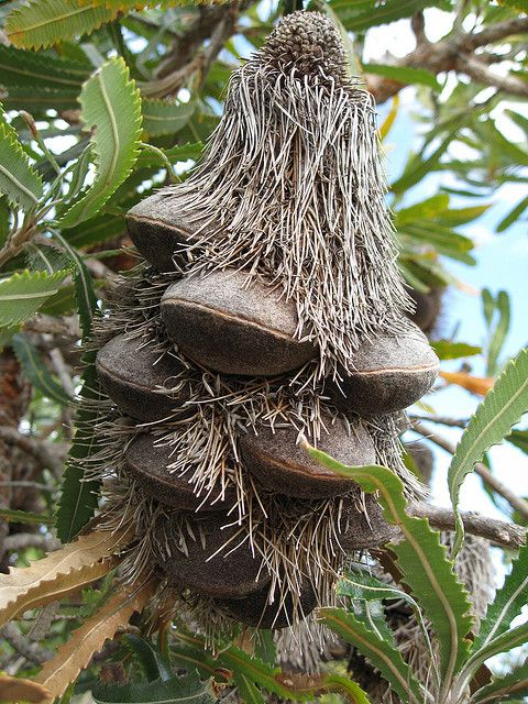 Old Man Banksia Weird Plants Rare Plants Trees To Plant