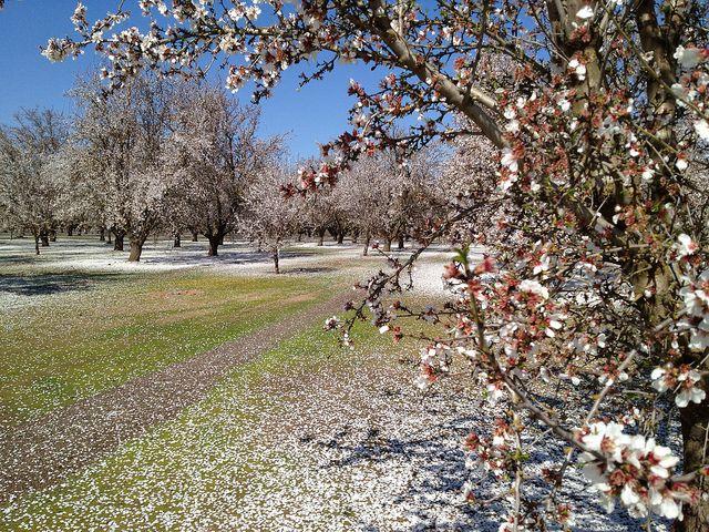 Central California Blossom Trail 2012