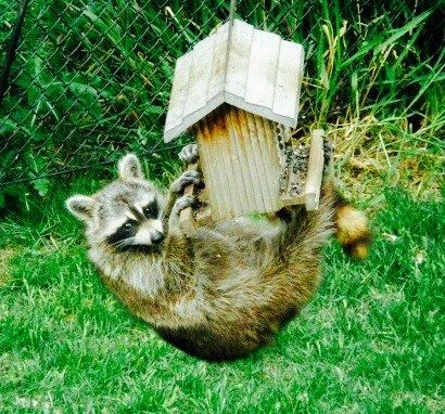 Raccoon Raccoon Animal Pictures Animals